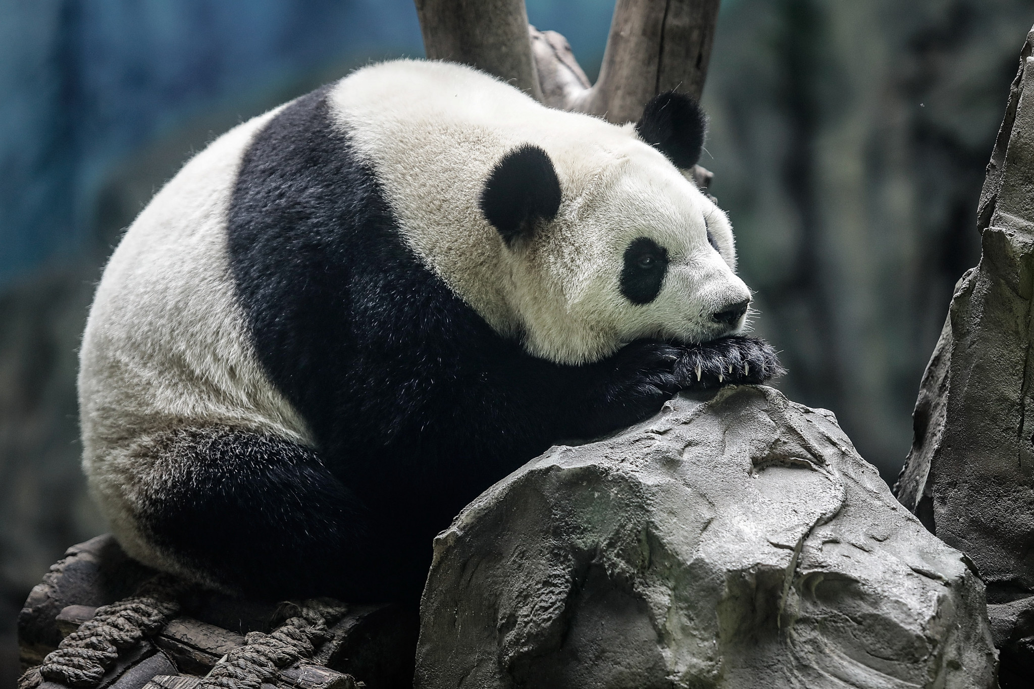 Chengdu is known as the home of the giant panda ©Getty Images