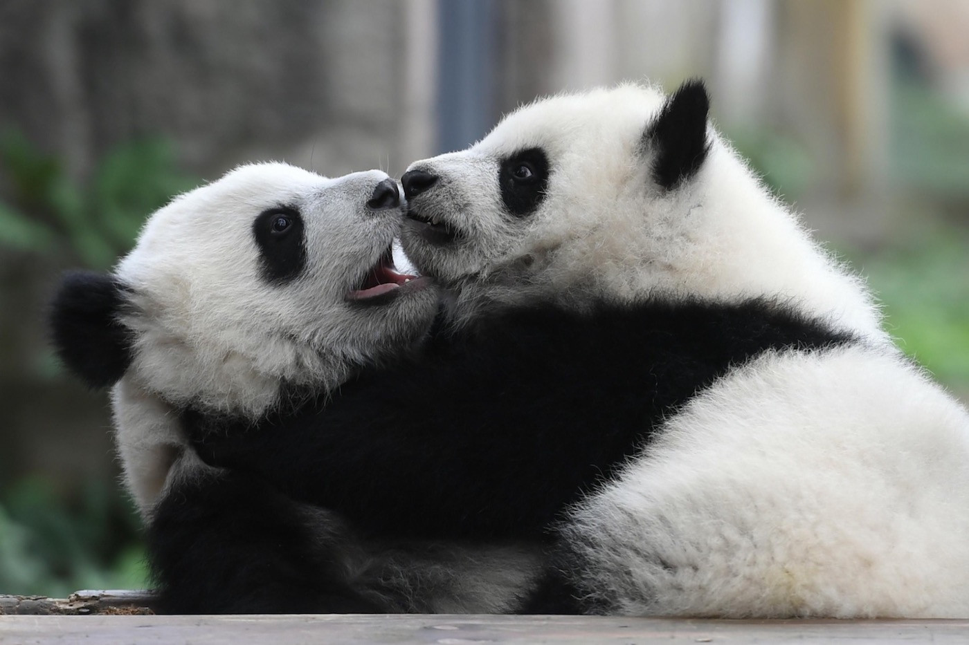 Chengdu is famous around the world for pandas ©FISU
