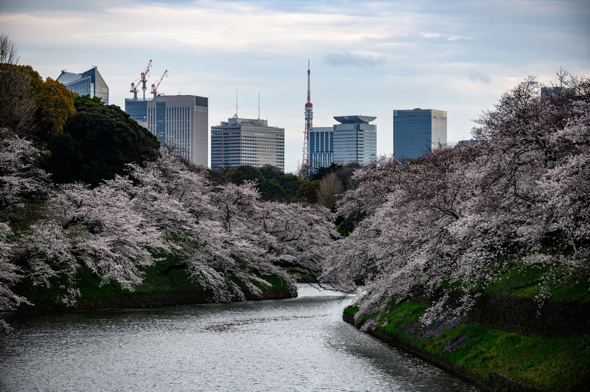 A 'Cherry Blossom Olympics' in the spring had been mooted but a summer Games now seems the likeliest option ©Getty Images
