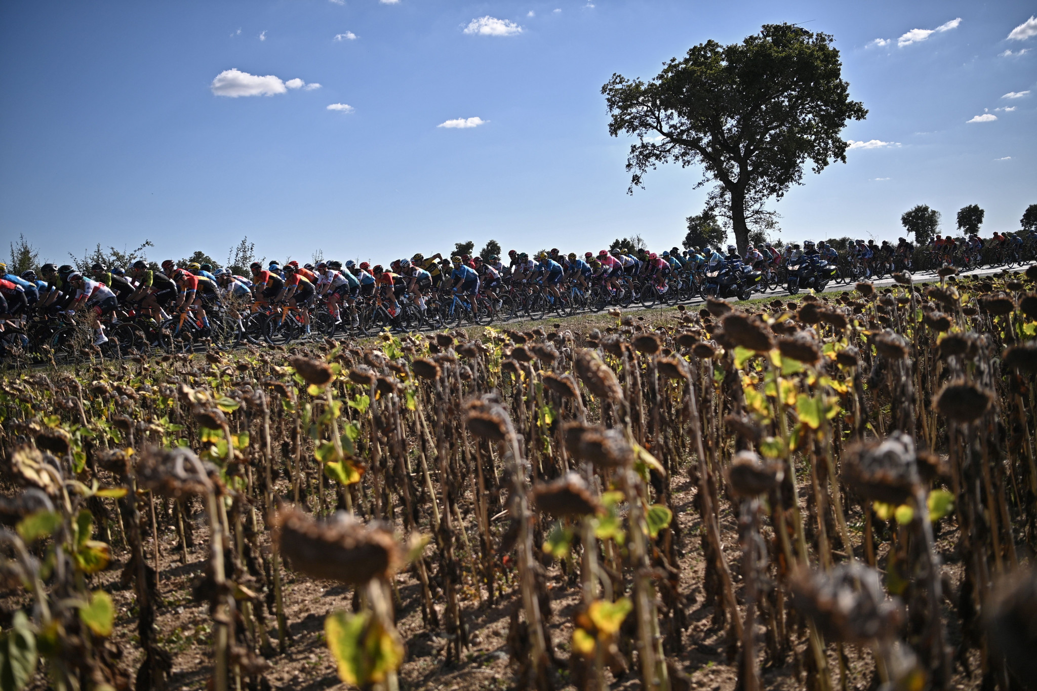 The sunflowers are normally blooming in the summer when the Tour de France is held in July and August, but in September the fields are brown rather than yellow ©Getty Images