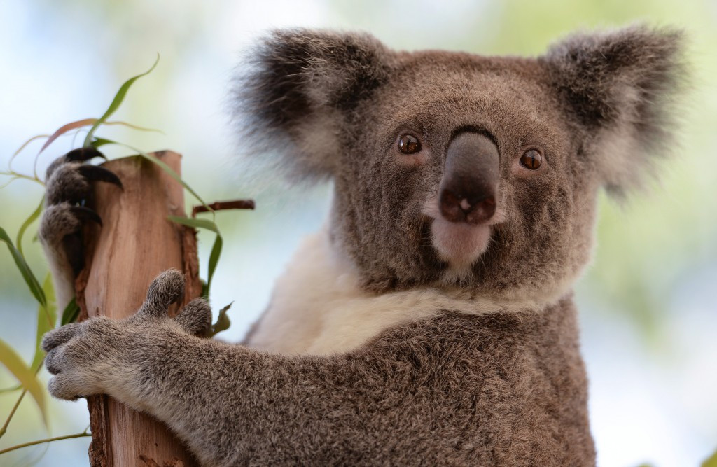 It is hoped Borobi will help raise awareness of koalas and provide important education on their conservation and protection