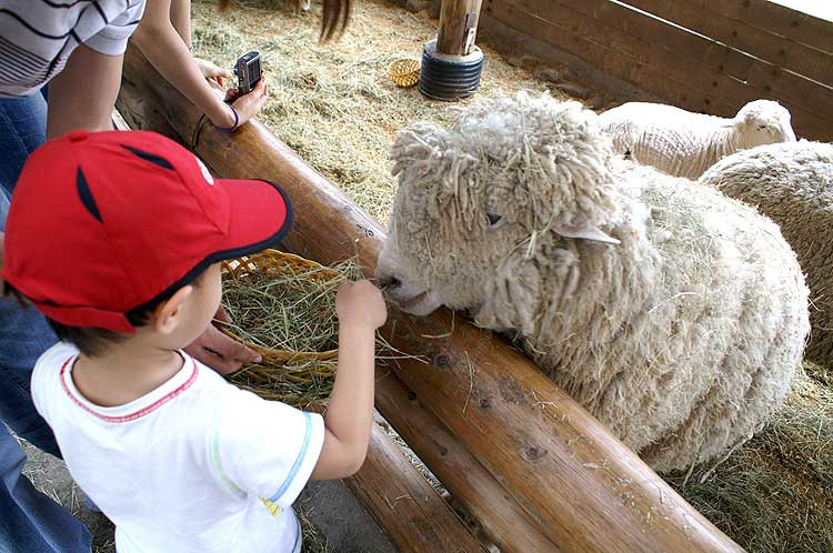 Daegwallyeong Sheep Ranch is one of the tourist attractions in the